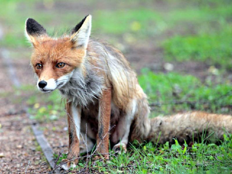 Дикая лисица наделала шуму в детском садике Москвы