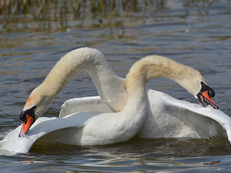 Swans_Birds_Two_White_445358.jpg
